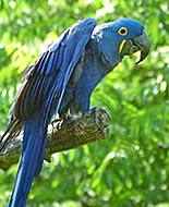 Хиацинтов ара