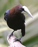 Brunhodeoropendola