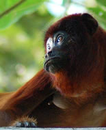 Venezuelan Red Howler Monkey