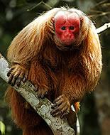 Skarlátarcú majom