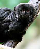 Miko czarny