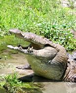 Hegyesorrú krokodil