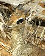 Dik-dik antilopa