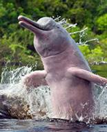 Амазонски речен делфин