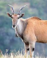 Eland antilopa