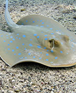 Porcupine River Stingray