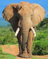 Éléphant d'Afrique de buisson