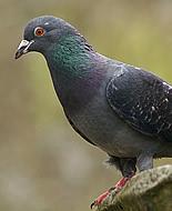 Kaya Güvercini