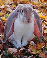 Клепоух английски заек