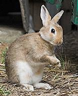 Minik Tavşan