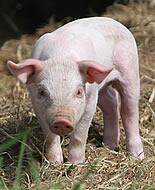 Domaća svinja