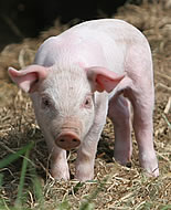 Домашна свиня