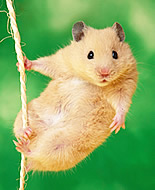 Euroopa hamster
