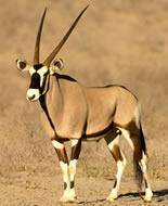 Oriks gazela