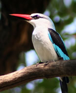 Senegal ijsvogel