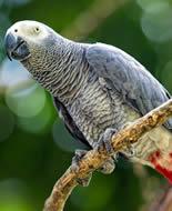 Gabonas pelēkais papagailis