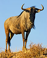 Belorepi gnu