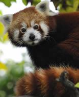 Mazais panda