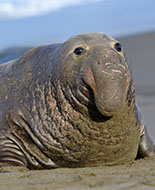 Southern Elephant-Seal