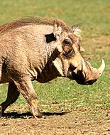 Bradavičasta svinja