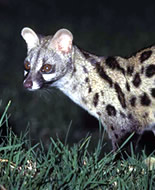 Genette d'Angola