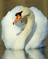 Cisne-branco