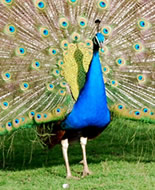 Blue Peafowl
