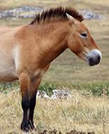 Prževaļska zirgs