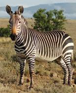 Kalnu zebra