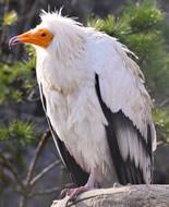Ścierwnik biały