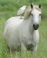Koń rasy Camargue
