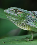 Common Monkey Lizard
