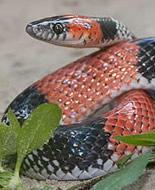 Brazilian False Coral Snake