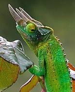Kameleon Jacksona