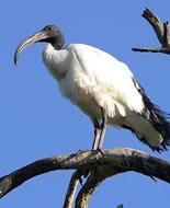 Sveti ibis