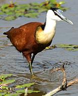 Jacana-africana
