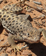 Small-spotted Lizard