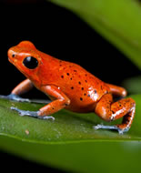 Strawberry Poison Frog