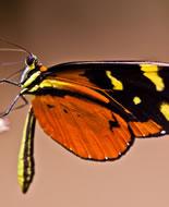 Ismenius Tiger