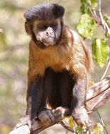 Black-striped Capuchin