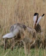 Ethiopian Hare