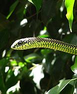 Afrička drvna zmija