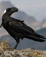 Corbeau corbivau