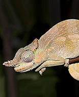 Kameleon łopatonosy
