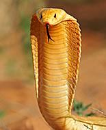 Капска кобра