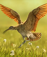 Northern Curlew