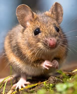 Southern African Spiny Mouse