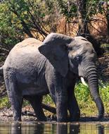 Eléphant de forêt d'Afrique