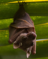 Peter's Dwarf Epauletted Fruit Bat