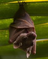 Micropteropus pusillus